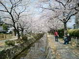 哲学の道も満開の桜でした