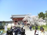 桜の名所仁和寺